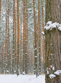 Season is winter and winter forest — Stock fotografie
