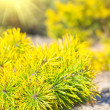 Stock Photo: Small pine tree near forest