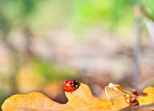Ladybug on the leaf of an oak — Stock Photo
