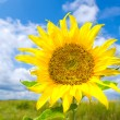 Beautiful sunflower in summer meadow — Stock Photo