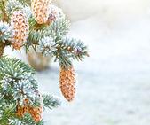 Spruce grenar med kottar — Stockfoto