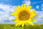 Schöne sonnenblumen im sommerwiese — Stockfoto