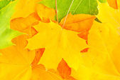 Bright autumn leaves of maple — Stock Photo