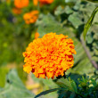 Orange Tagétes. Flowers in the garden — Stock Photo