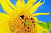 Big bee on the sunflower — Stock Photo