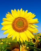 Beautiful sunflower against blue sky — Stock Photo