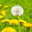 Dandelions — Stock Photo #27551849
