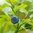 Stock Photo: Ripe bilberry