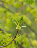 Green buds of a maple in the spring — Stock Photo