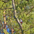 Woodpecker looking for food in the pine tree — Stock Photo