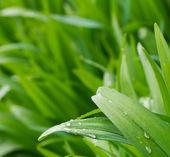 Gocce d'acqua sulla pianta primavera verde — Foto Stock