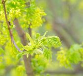 Germogli verdi di un acero in primavera — Foto Stock