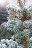 Branches of blue spruce is covered with frost — Stock Photo
