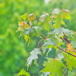 Branch of maple with green leaves, when it is raining — Stock Photo