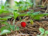 Ripe and unripe strawberry in the forest — Stock Photo