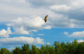 Stork circling over the native forest before he fly away to warm — Stock Photo