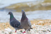 Two pigeons on the sea shore — Stock Photo