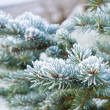Branches of blue spruce is covered with frost — Stock Photo #37226519