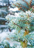 Branches of blue spruce is covered with frost — Photo