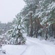 Stock Photo: Snowfall in pine forest