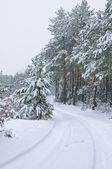 Snowfall in the pine forest — Stock Photo