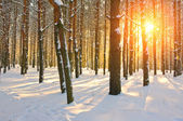 Sunset in pine forest. Winter season — Stock Photo