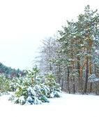 Forest after snowfall. Winter landscape — Stock Photo