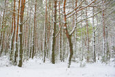Season is winter and winter forest  — Stockfoto