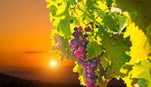 Dojrzałe winogrona na zachodzie słońca — Zdjęcie stockowe