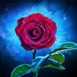 Purple-red flower rose - Stock Photo