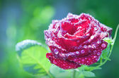 Flower red rose with dew drops — Stock Photo