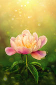 Beautiful pink peony on green background — Stock Photo