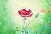 Red rose with water drops in my garden — Stock Photo