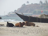 Cows on beach — Stock Photo