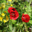 Corn poppy - Stock Photo