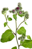 Greater burdock (Arctium tomentosum — Stock Photo