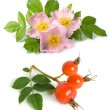 Stock Photo: Dog rose flower and fruits