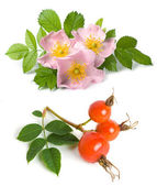 Dog rose flower and fruits — Stock Photo