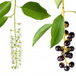 Bird cherry flower and berries — Stock Photo