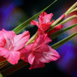 Flower Gladiolus — Stock Photo