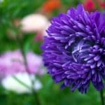 Chrysanthemum — Stock Photo #1341426