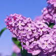 Fresh flowers lilac — Stock Photo