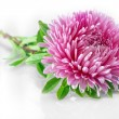 Aster — Stock Photo