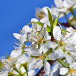 Flowers cherry — Stock Photo
