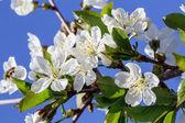 Flowers plum — Stock Photo