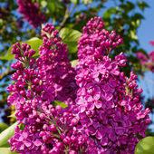 Bunch of lilac flower — Stock Photo