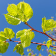 New green leaves of linden tree in springtime — Stock Photo