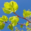New green leaves of linden tree in springtime — Stock Photo #18094269