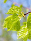 Germogli e nuove foglie verdi di tiglio in primavera — Foto Stock