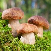 3蘑菇(牛肝菌)的苔藓森林 — 图库照片